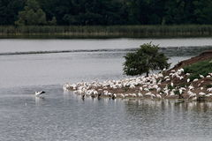 Пеликан, цапля, и Rookery баклана на острове озера голуб Стоковые Изображения RF