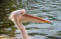 Пеликан Стоковое фото RF