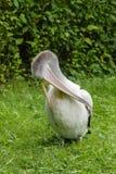 пеликан Стоковые Фотографии RF
