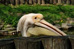 пеликан Стоковые Изображения RF