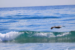пеликан Стоковые Изображения
