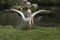 Пеликан flapping стоковое изображение rf