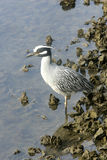 пеликан florida Стоковое Фото