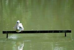 Пеликан Loney Стоковые Фото