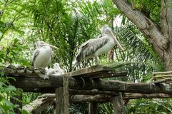 Пеликан, philippensis pelecanus, в зоопарке Стоковое Фото