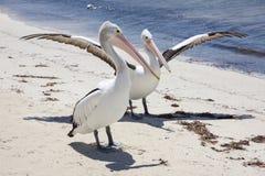 Пеликан Rottnest Стоковые Изображения