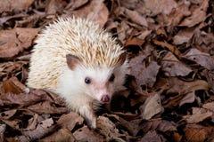 пигмей hedgehog Стоковое Изображение RF