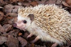 пигмей hedgehog Стоковые Изображения RF