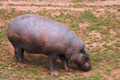 пигмей hippopotamus Стоковое Изображение RF