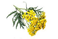 Пижма лекарственного растения (vulgare Tanacetum) на белой предпосылке Стоковое фото RF