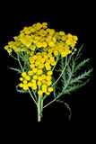 Пижма лекарственного растения (vulgare Tanacetum) на черной предпосылке Стоковое Изображение