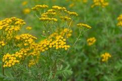 Пижма - цветя herbaceous завод на временени в одичалой природе Стоковая Фотография RF