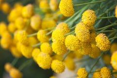 Пижма vulgare Tanacetum Стоковые Изображения RF