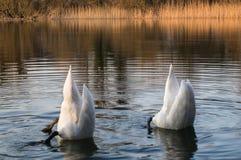 Пикирование лебедя Стоковая Фотография RF