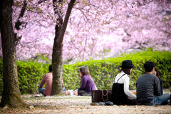 Пикник под вишневыми цветами деревьев Сакуры стоковые фотографии rf