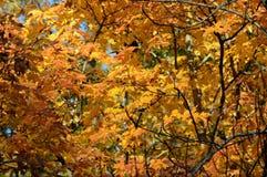 Пиковые цвета клена осени - Минесота стоковые фотографии rf