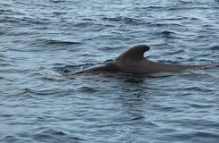 Пилотный кит в океане Стоковое Изображение