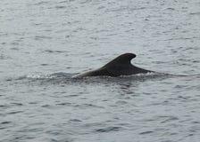 Пилотный кит в океане Стоковое Фото