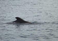 Пилотный кит в океане Стоковое Изображение RF