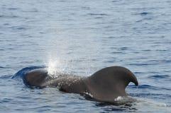 пилотный кит Стоковое Изображение RF