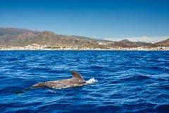 Пилотный кит, melas Globicephala, остров Тенерифе, Канарские острова, Испания Стоковые Фото