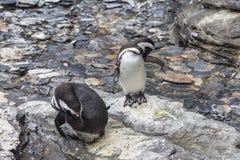 2 пингвина быть занятый путем очищать, Лиссабон Стоковое Фото