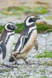 2 пингвина в аренах Punta Стоковые Изображения RF