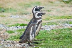 2 пингвина в Чили Стоковое Фото