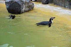 2 пингвина Гумбольдта плавая в бассейне Стоковое фото RF