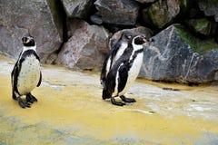 3 пингвина Гумбольдта стоя перед каменной стеной Стоковое Изображение
