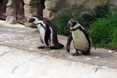 2 пингвина Гумбольдта Стоковые Изображения