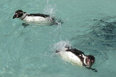 2 пингвина Гумбольдта Стоковое Изображение RF