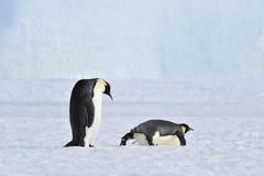 2 пингвина императора на снеге Стоковое Изображение RF