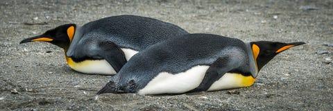 2 пингвина короля лежа в различных направлениях Стоковые Изображения RF