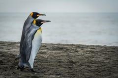 2 пингвина короля идя совместно на пляж Стоковое фото RF