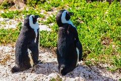 2 пингвина на прибрежном песке Стоковое Изображение