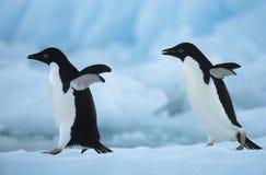 2 пингвина на снеге Стоковые Изображения RF