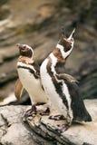2 пингвина над утесами ревя. Стоковое Изображение