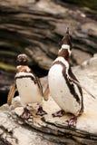 2 пингвина ревя на утесах Стоковые Фото