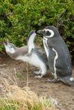 2 пингвина стоя на земле в Чили Стоковая Фотография