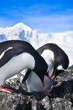 2 пингвина Стоковые Фотографии RF