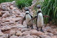 2 пингвина Стоковое Изображение RF