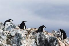 3 пингвина Chinstrap и пингвин Gentoo Стоковые Фотографии RF