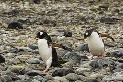 2 пингвина Gentoo идя на утесы Стоковое Фото