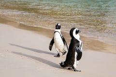 2 пингвина Jackass на пляже с океаном в предпосылке Стоковые Изображения RF