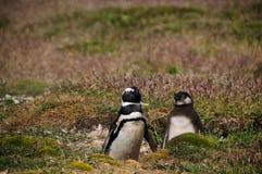 2 пингвина Magellanic на острове туши Стоковые Изображения