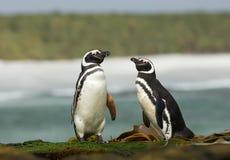 2 пингвина Magellanic стоя на береге океана Стоковая Фотография RF
