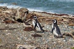 2 пингвина Magellanic Стоковые Фото