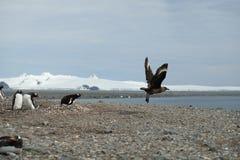 Пингвины Антарктики Gentoo гонят прочь поморникового от их гнезда стоковые изображения