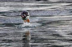 Пингвины Адели, море Weddell, Антарктика Стоковые Фотографии RF